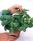 Ernte von Kräutern im Topf: Ganze Blätter von Ocimum (Basilikum)