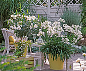 White terrace, Agapanthus (African ornamental lily), Nerium