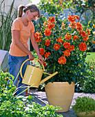 Woman pours Dahlia 'Balego's Glory' (orange dahlia)