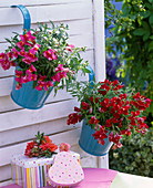 Antirrhinum, in blue hanging pots