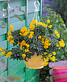 Cassia corymbosa (spice bark) in yellow hanging basket