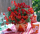 Antirrhinum, orange and dark red