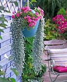 Pelargonium 'Melosilver' (Color Leaf Geranium)