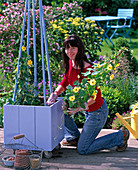 Plant blue box with yellow thunbergia