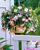 Begonia Belleconia 'Apricot Blush'