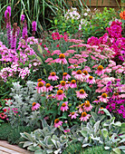 Pink-pink bed with Echinacea purpurea (Red sun hat)