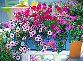Blue wooden flower box with Petunia 'Mary Blue', Verbena