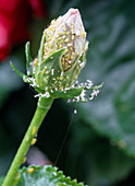 Aphidina (aphids) on hibiscus bud