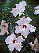 Flower Macro, Hibiscus rosa-sinensis (Rosemary)
