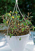 Cut back the hanging fuchsia in spring and repot