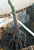 Plant pear trellis