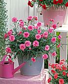 Dianthus Devon Cottage 'Pink' (Carnation)