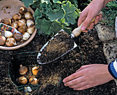 Planting tulip bulbs in a homemade wire basket