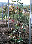 Apple trees wire trellis autumn