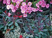 Pink autumn perennials