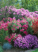 Autumn, garden, pink, pink, purple, perennials
