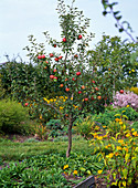 Apple tree fruits autumn garden