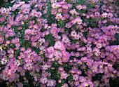 Aster ericoides 'Pink Star' (Myrtenaster)