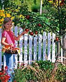 Little girl picking malus (apple)