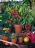 Capsicum (paprika, ornamental paprika, chili) in orange pots
