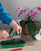 Streptocarpus leaf cuttings propagation
