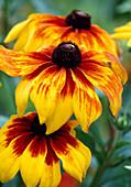 Rudbeckia hirta 'Autumn Colors' (Coneflower) flowers