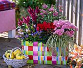 Chrysanthemum (Chrysanthemum), Cyclamen (Cyclamen)