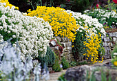 Iberis (Creeping Flower), Alyssum montanum 'Mountain Gold'