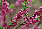 Branches with Daphne mezereum (daphne) flowers
