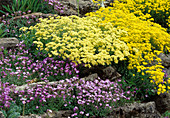 Alyssum, Arabis, in the rock garden