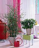 Euphorbia tirucalli (pencil tree), Crassula arborea (money tree)