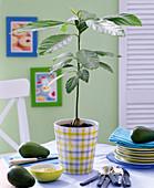 Persea (Avocado) in kariertem Übertopf auf dem Tisch, Schale mit Guacamole