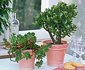Sedum, Crassula in salmon pink planters on the table