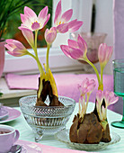 Colchicum with washed roots on the table
