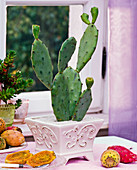 Opuntia (prickly pear) in a square pot, prickly pears