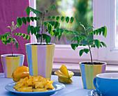 Young Averrhoa carambola (carambola, starfruit) plants