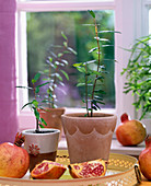Punica in terracotta pots, whole and sliced fruits