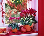 Cyclamen in orange planters on the windowsill, Malus