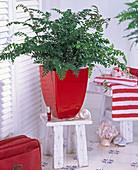 Plant in the bath, Didymochlaena (Erdfarn) in red planter