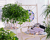 Plant in the bath, Pteris cretica 'Roeweri' (hem)