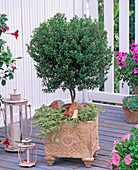 Myrtus communis (bridal myrtle)