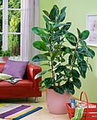 Ficus elastica in pink pot on the floor, sofa, basket