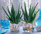 Aloe vera, in glasses with sand, blue stones, shells