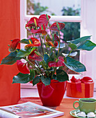 Anthurium andreanum in red planter on the table, book