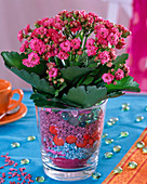 Kalanchoe Calandiva 'Pink' in glass with colorful stones