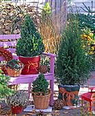 Buxus (box), Thuja (Tree of Life), Picea glauca 'Conica'