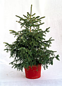 Picea omorika in pot as a cut out, unadorned