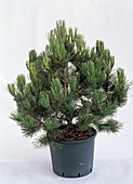 Pinus banksiana 'Arktis' in pot as a cut-out, unadorned