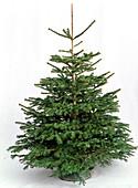 Abies nordmanniana (Nordmann - Tanne) in Weihnachtsbaumständer als Freisteller