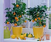 Citrofortunella (Calamondinorangen) in gelben Übertöpfen auf der Fensterbank